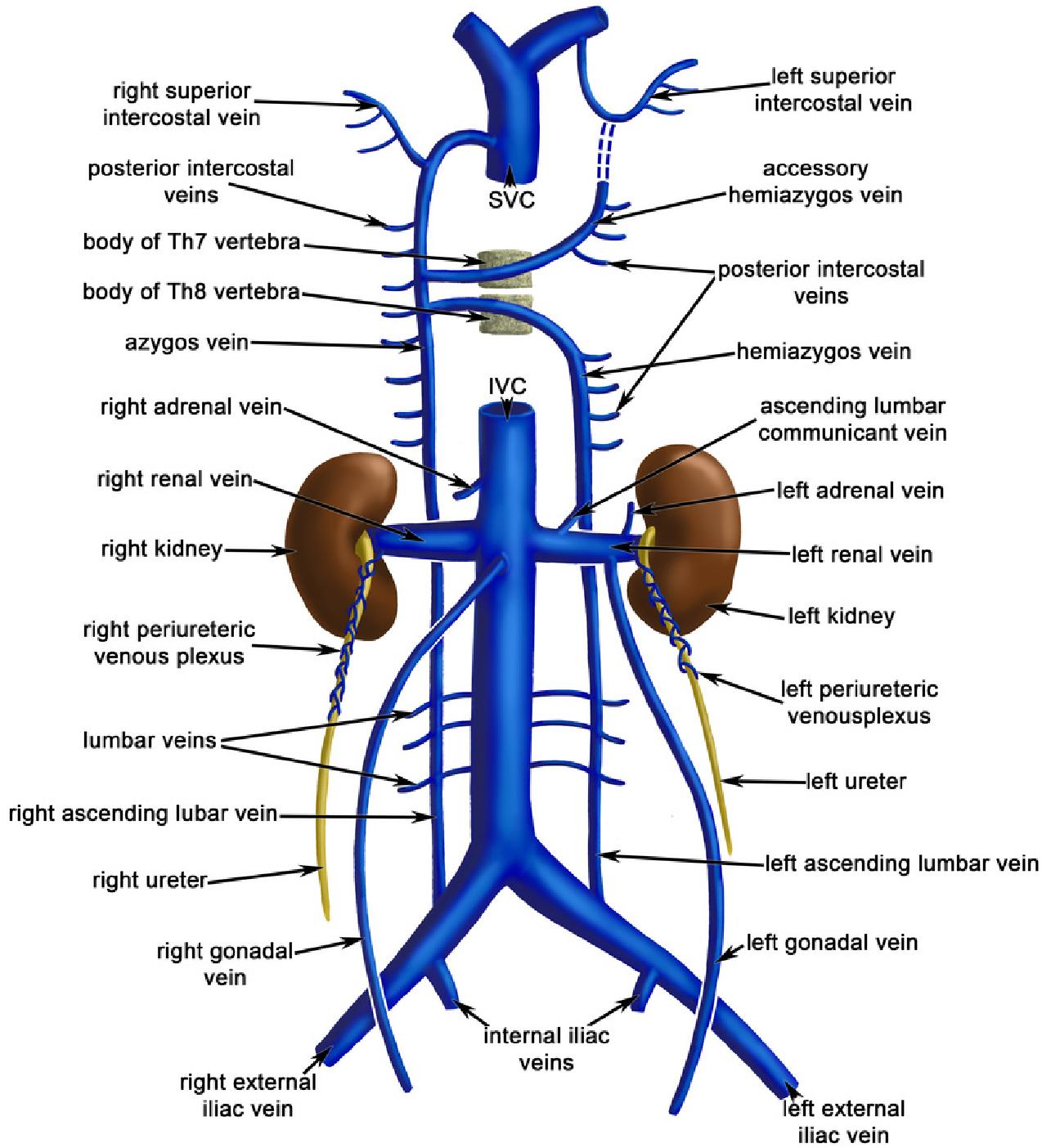 Resultado De Imagen Para Vena Cava Anatomia Humana Anatomia Humana Musculos Fisiologia
