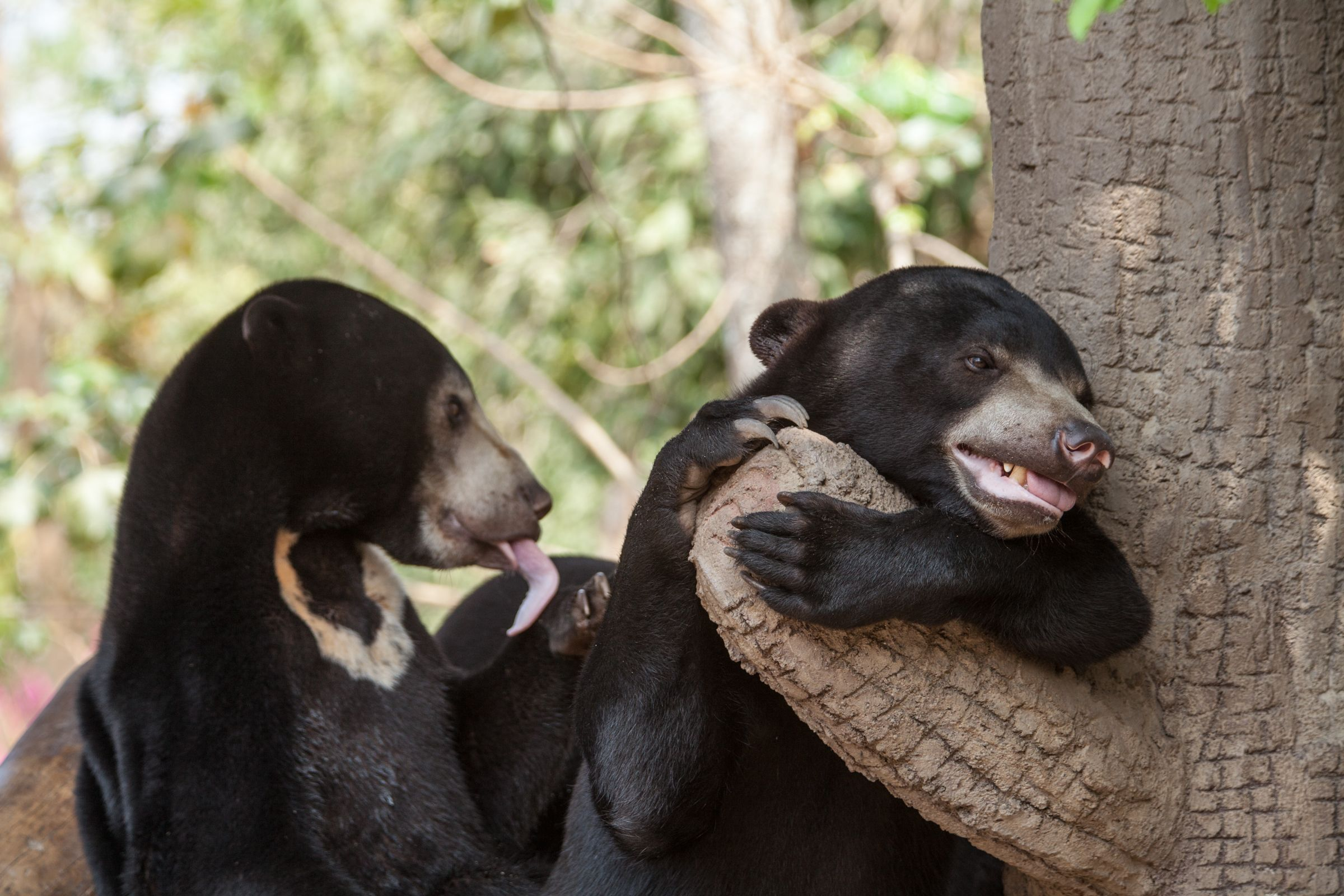 Playful sunbear cubs! #babyanimals #phnomtamao