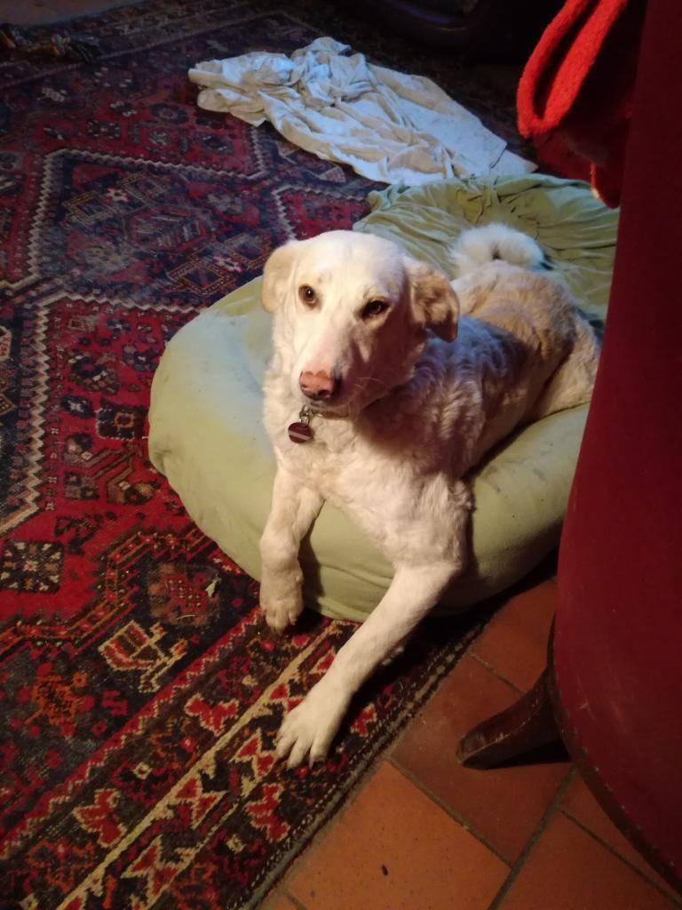 Hund Golden Retriever Hovawart Tiere, Hunde, Hund