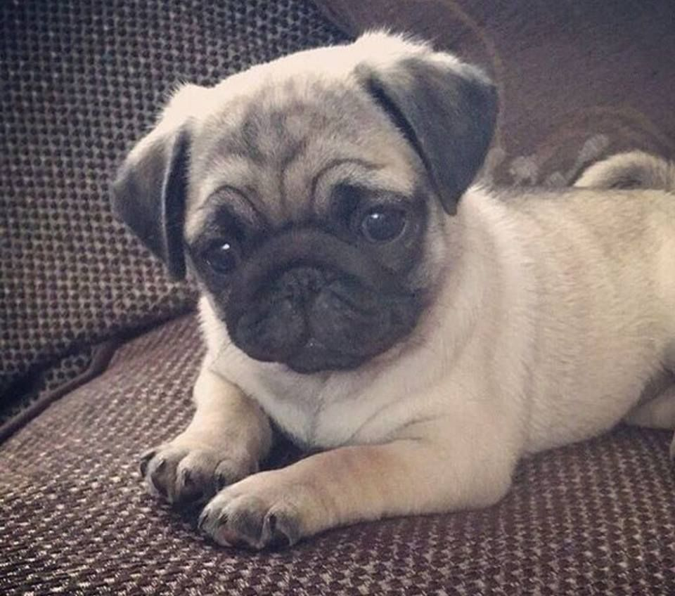 Babies Image By Jeannie Swanson Cute Animals Baby Pugs Cute Pugs