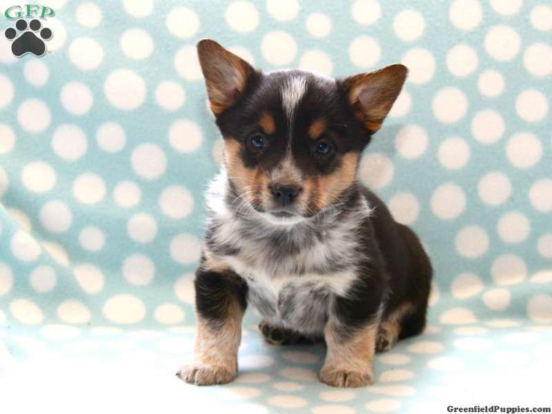 Bandit Welsh Corgi Mix For Sale From Gordonville Pa Corgi Mix