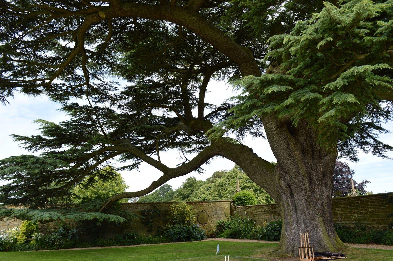 cedar tree and croquet lawn