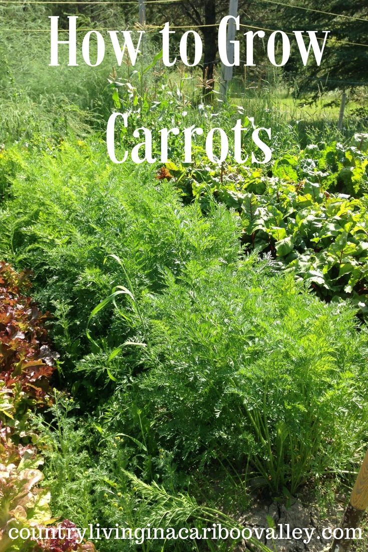 carrots are not hard to grow and they store great for winter