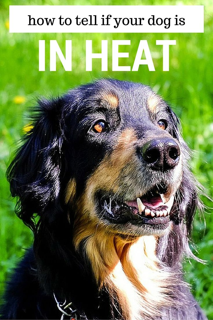 How Long Does A Female Dog Stay In Heat Dog In Heat Dogs