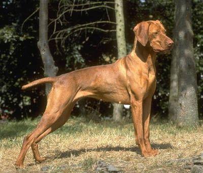 Hungarian Vizsla In 2020 Vizsla Vizsla Dogs Vizsla Dog Breed