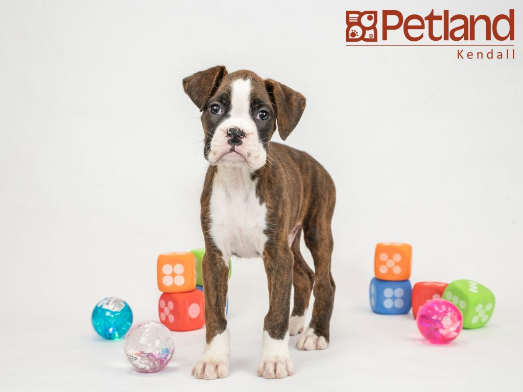 Petland Florida Has Boxer Puppies For Sale Interested In Finding