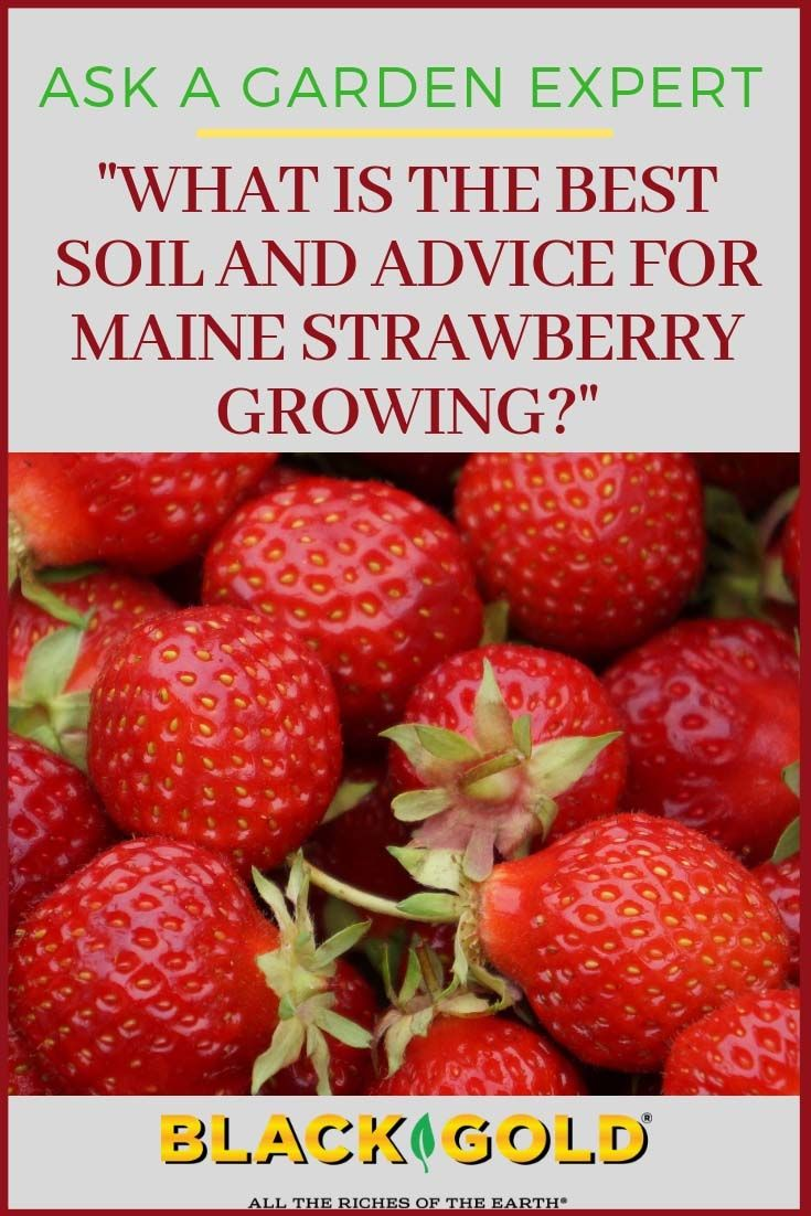 What is the Best Soil and Advice for Strawberry Growing in