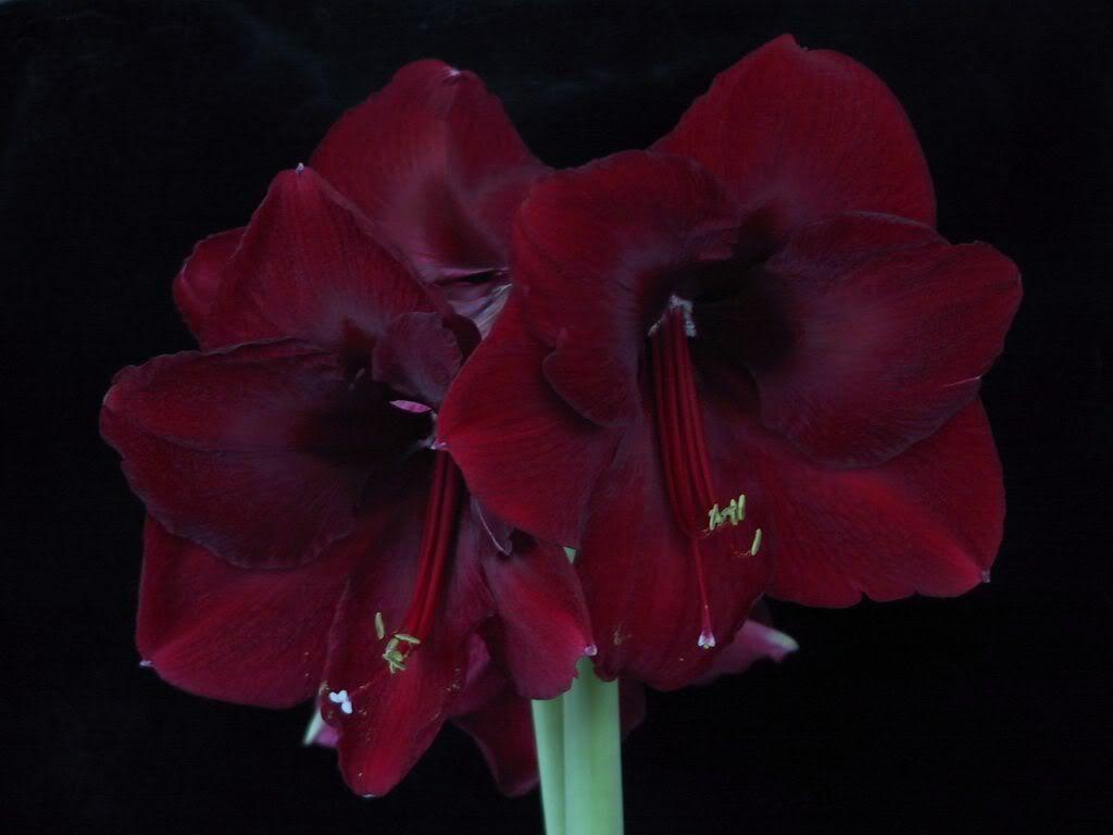 Amaryllis Black Pearl Amaryllis Flower Essences Iris Flowers