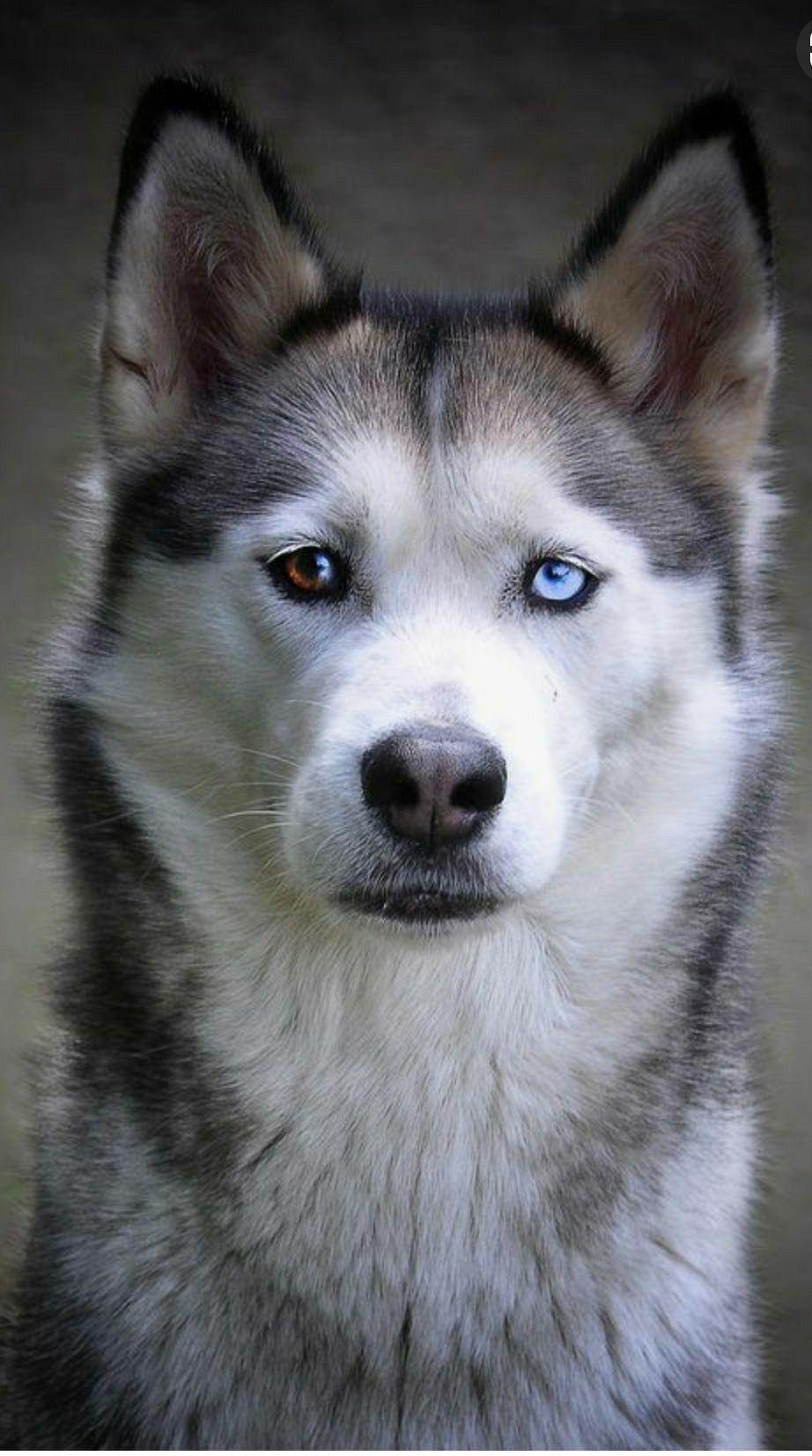 Beautiful Siberian Husky Dog Husky Dogs Siberian Husky