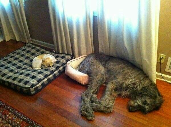 These Two Dogs Look As Confused Each Other While There S Plenty Of Room For The Smaller Dog In Irish Wolfhound Bed Same Can T Be Said