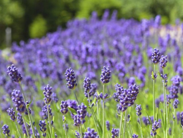 How To Grow Lavender In Texas With Pictures Ehow