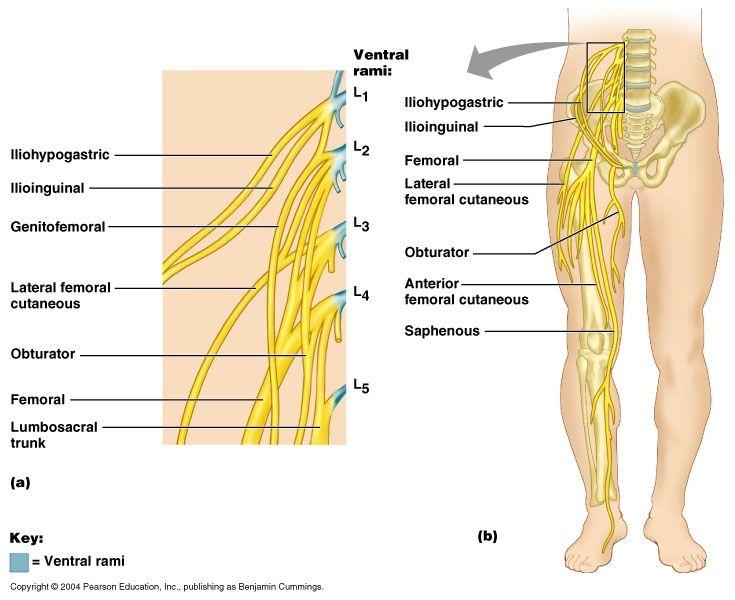 Nervous System Neuroanatomy Plexuses Of Spinal Nerves Cervical