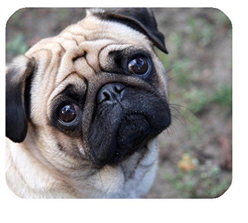 Beautiful Purebred Pug Puppies Pug Puppies For Sale Pug Puppies
