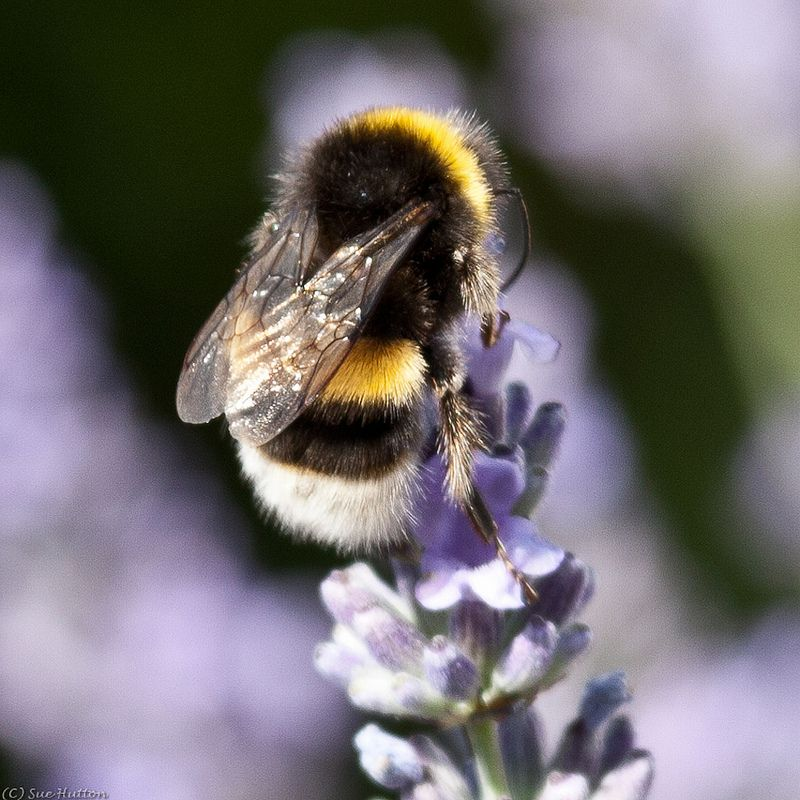 Bumblebee on Lavender | Bumble bee, Bee, Cute bee