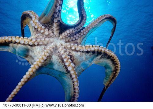 Octopus underside