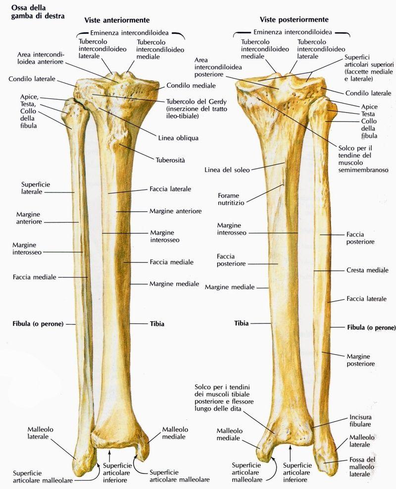 TIBIA - Cerca con Google | Anatomía | Pinterest | Anatomía y Google
