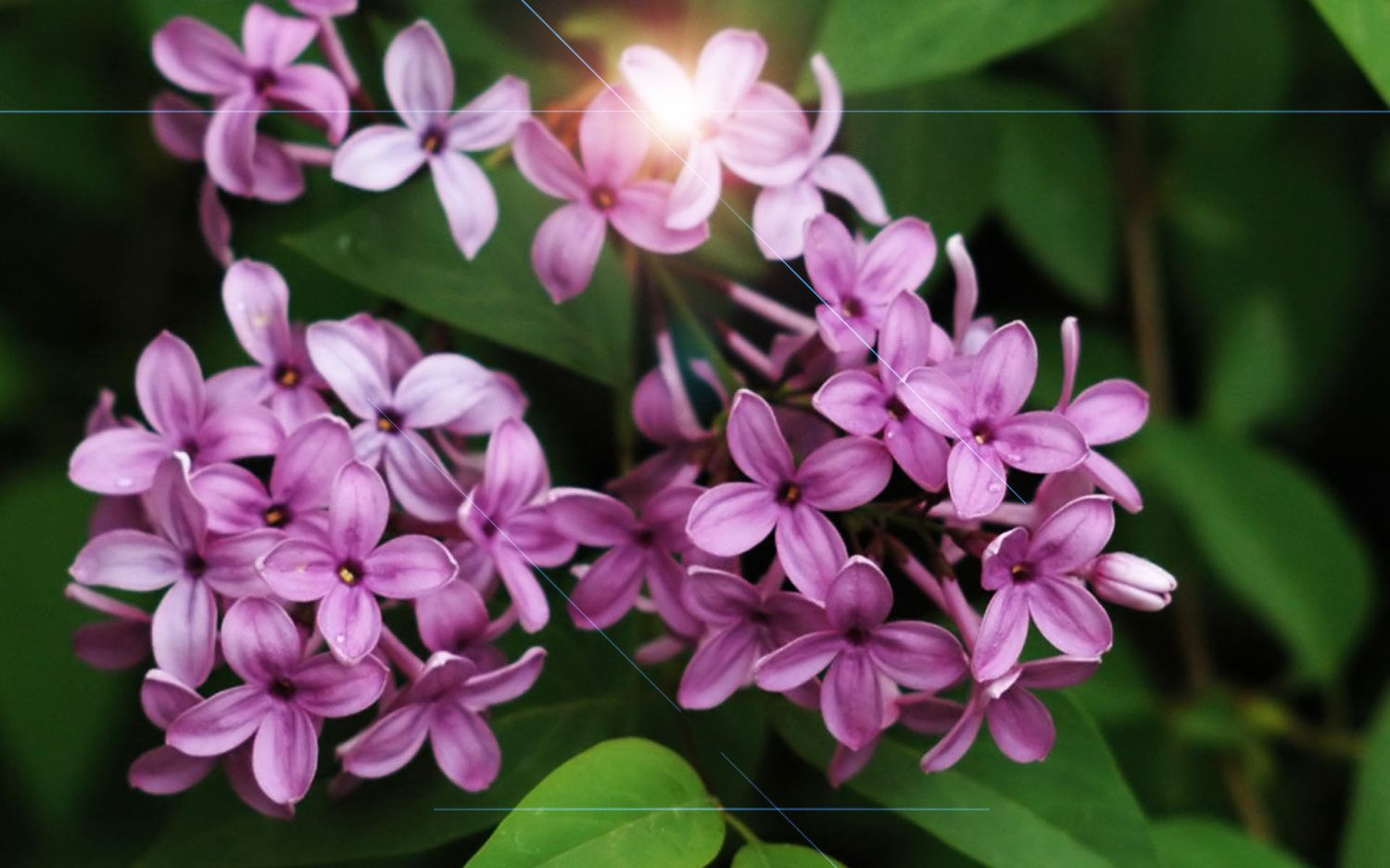 Lilac Flower Meaning Google Search Lilac Flowers Flower Meanings Flowers Nature