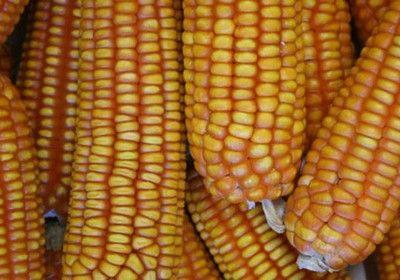 Plantio do milho avan�a e atinge 36% da �rea no Rio Grande do Sul