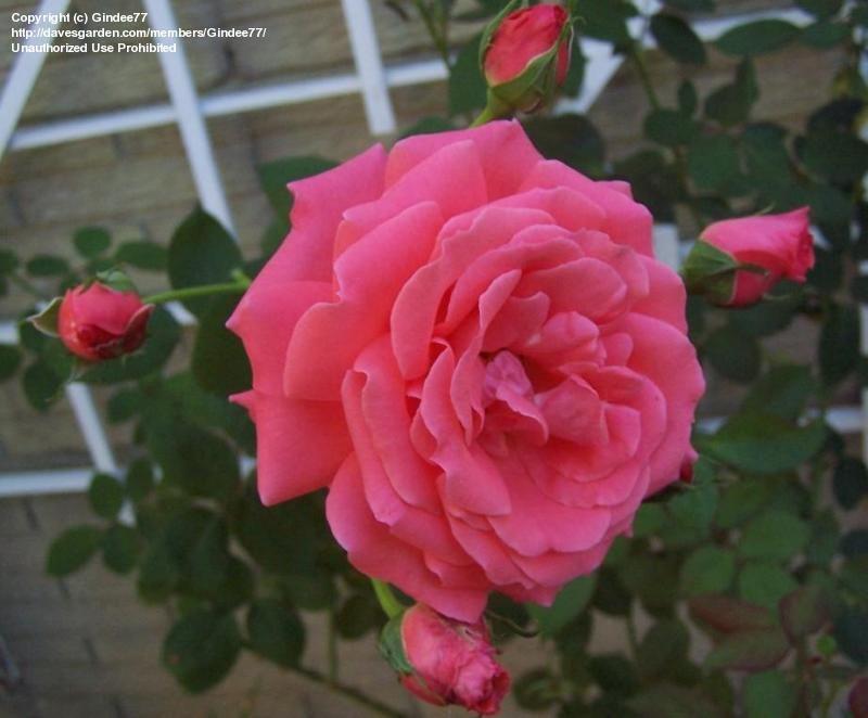 Pin By Elle Csaszar On Garden Love Climbing Roses Rose Flowers
