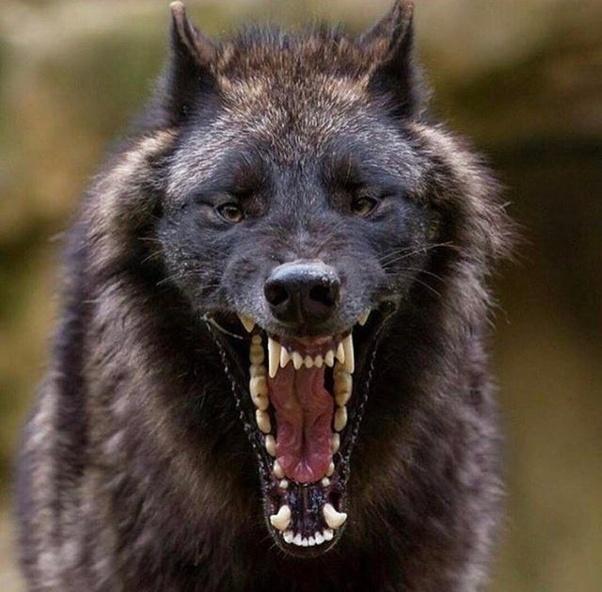 1 ホーム quora 狼 画像 狼男 犬