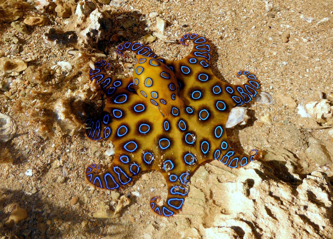 25+ Awesome picture of Blue-Ringed Octopus | Fish Tanks | Pinterest ...