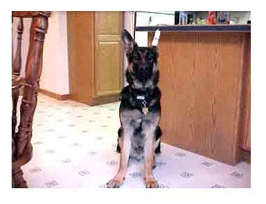 Taped Ear German Shepherd Ears Dutch Shepherd Puppy Shepherd