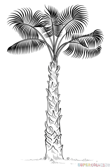 How to draw Cabbage Palm Tree step by step. Drawing