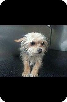 Toronto On Yorkie Yorkshire Terrier Chihuahua Mix Meet Peanut