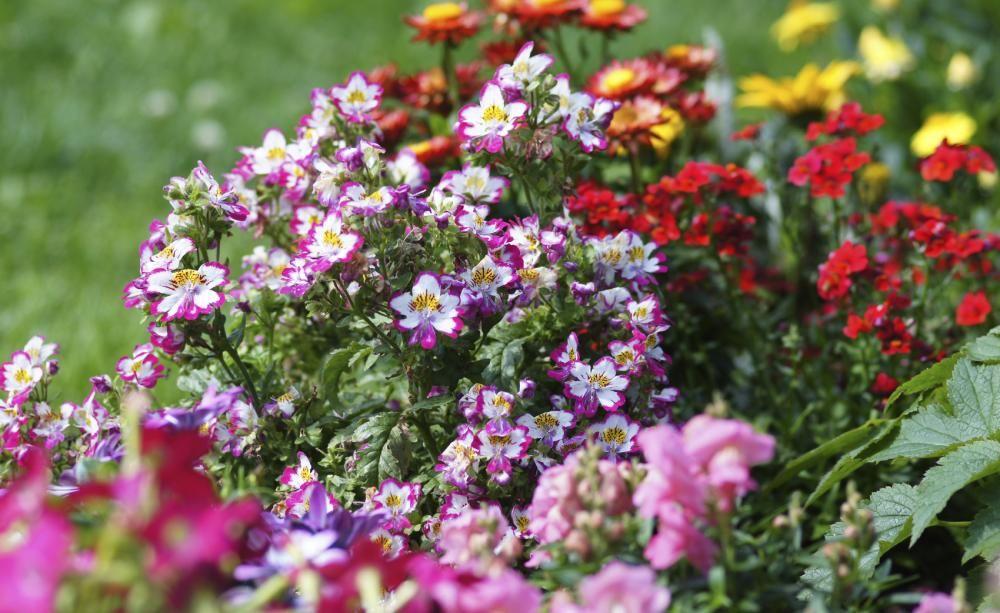 Bauernorchideen: Trendige Balkonblumen Balkonblumen Pflanzen Kalten Jahreszeit