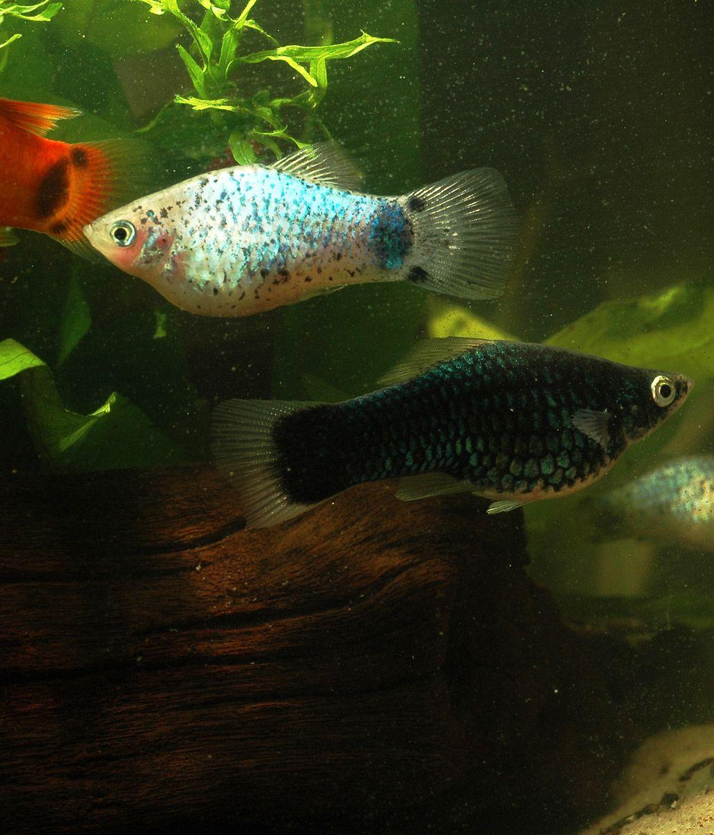 Freshwater aquarium fish profiles - Profile Of The Popular Aquarium Fish Xiphophorus Variatus Platy