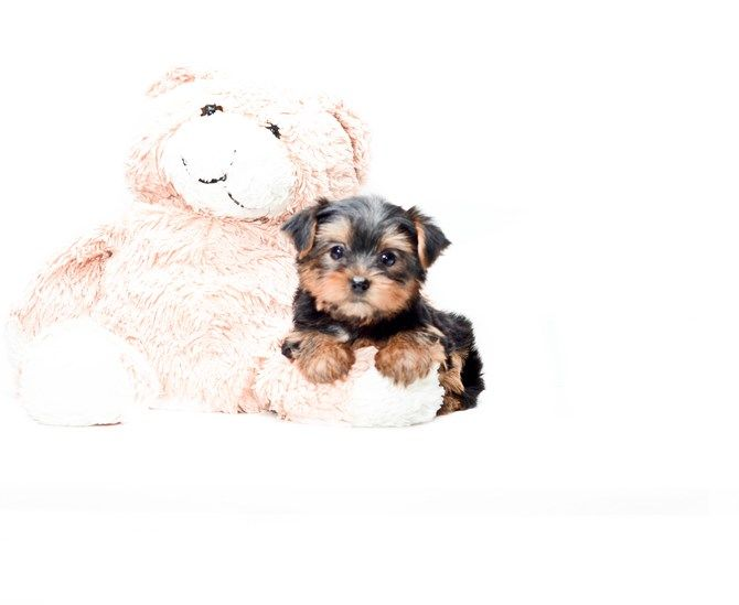 Teacup Bella Is Our Yorkie Puppy For Sale In Ohio 1 Yorkie Puppy Yorkie Puppy For Sale Puppies