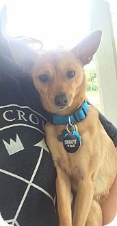 Pictures Of Fonzie A Chihuahua Basenji Mix For Adoption In