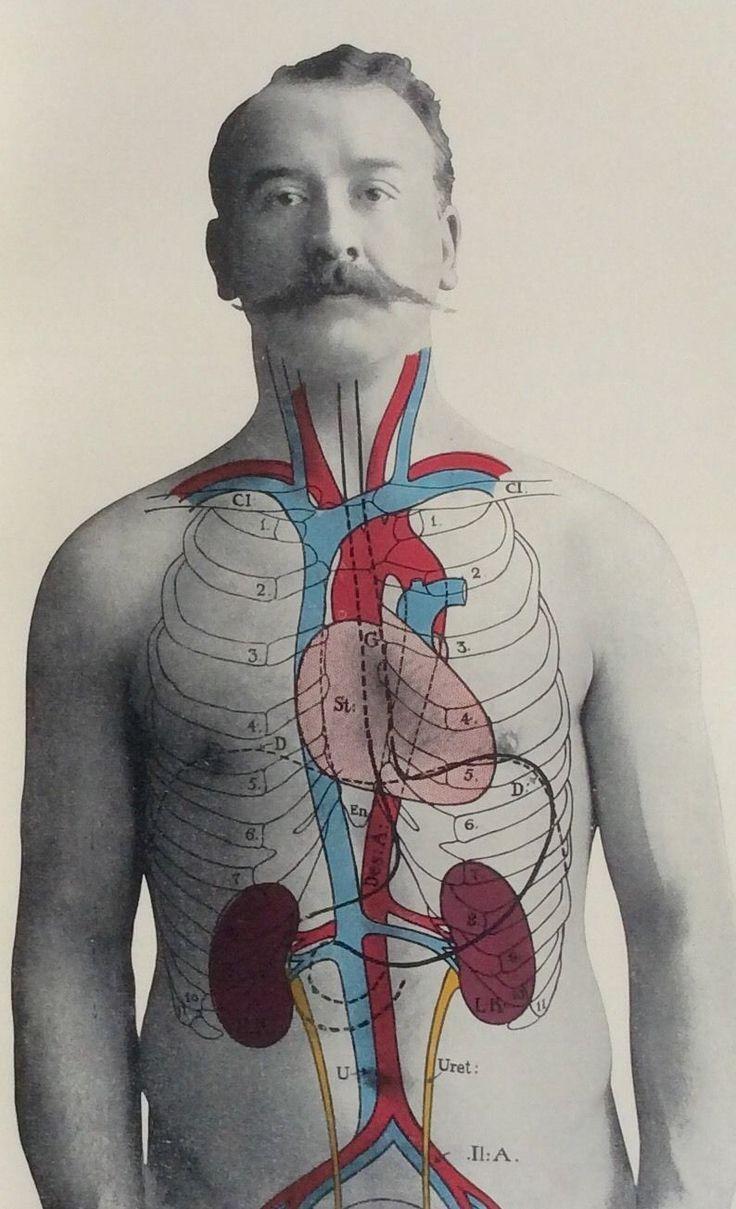Antique 1900s Medical Diagram Scientific Print Human Anatomy Kidneys