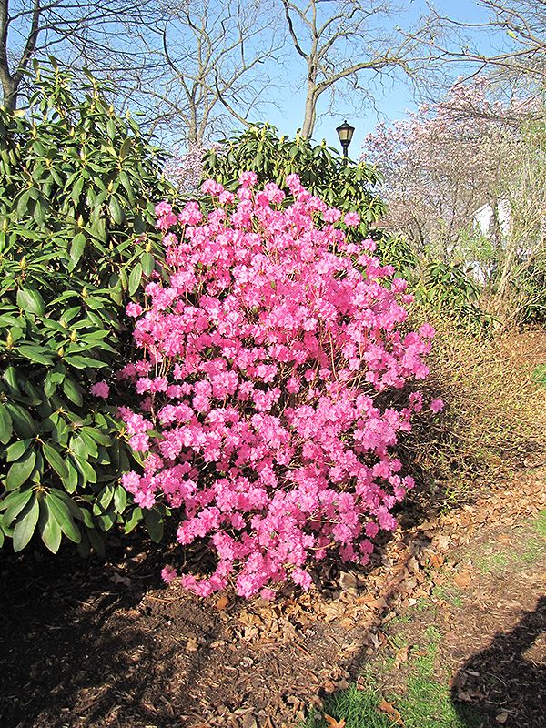 Click To View Full Size Photo Of Landmark Rhododendron At Chalet Nursery