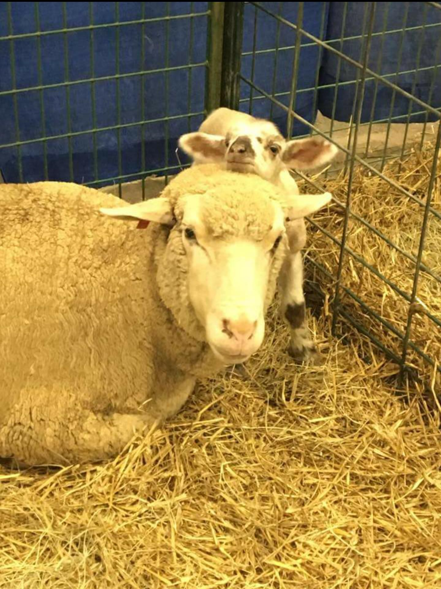 This little guy was born 5 days ago at the Tulsa State Fair http://ift.tt/2dilYPB