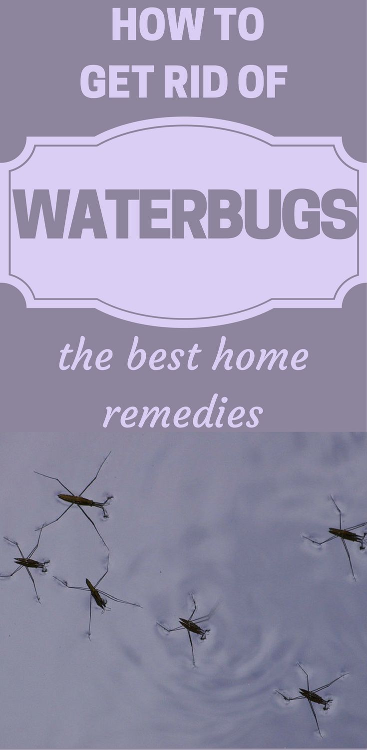 How To Get Rid Of Waterbugs The Best Home Remedies Get Rid Of Waterbugs How To Get Rid Best Pest Control