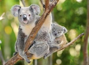 a57d49b6c151 How Does a Mother Koala Carry Her Baby
