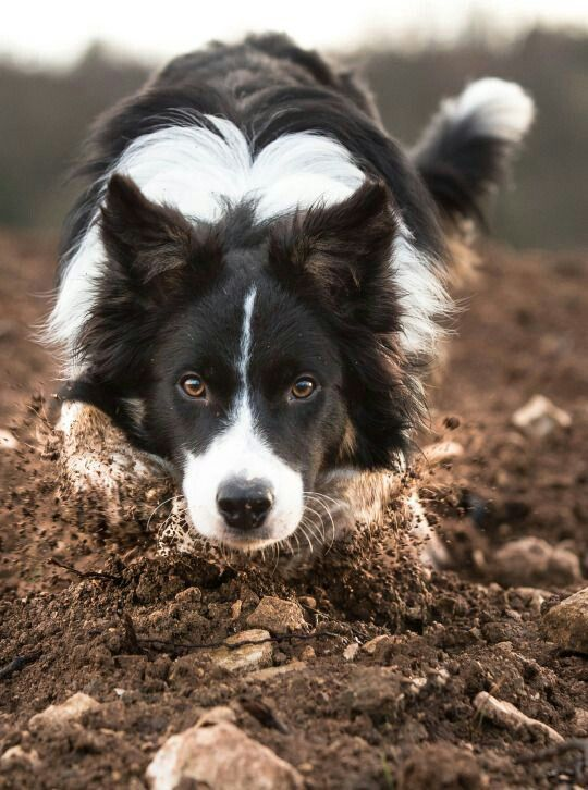 The Always Determined And Focused Border Collie Bordercollie