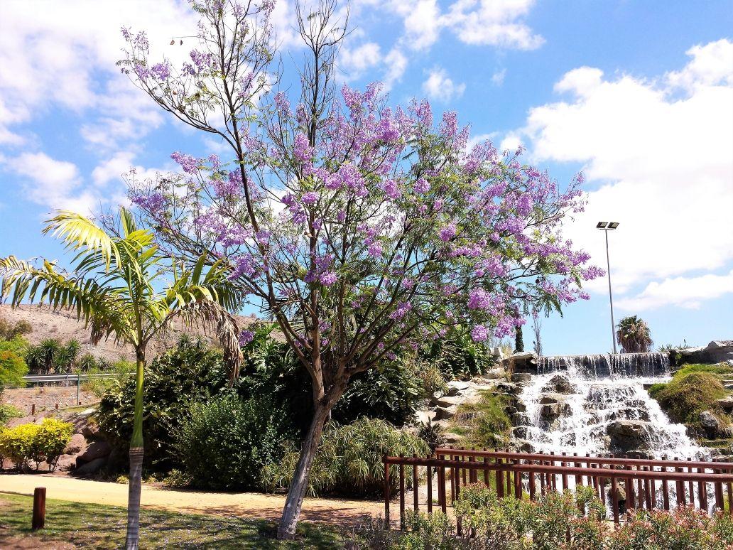 Palisanderholzbaum  Jacarandá - Blue Jacaranda - Palisanderholzbaum | Primavera Spring ...
