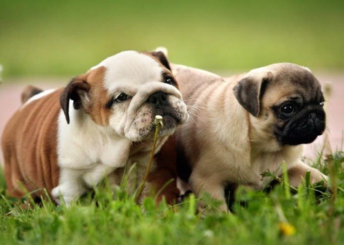 English Bulldog Pug Puppies Pets Cute Dogs Pug Puppies