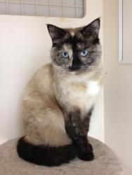 Adopt Luna On Pretty Cats Siamese Cats Animal Photography