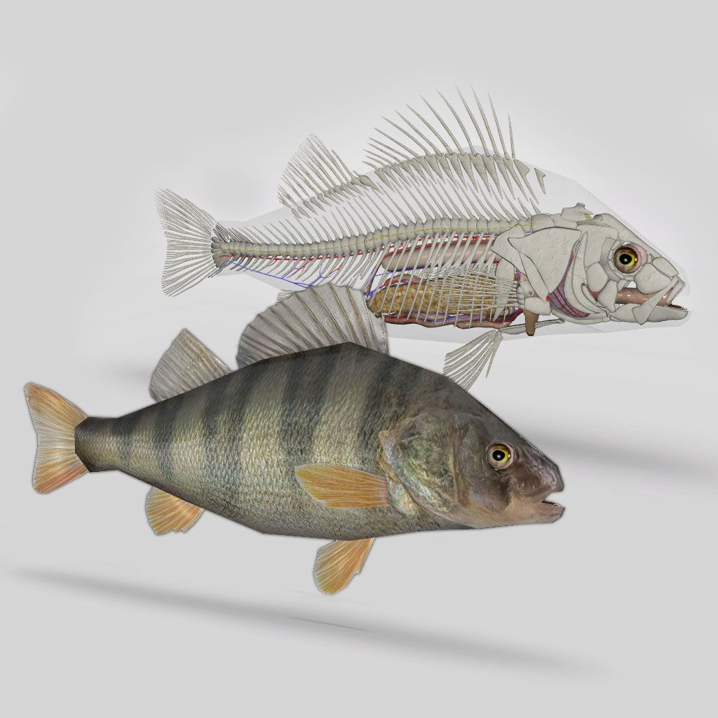 3D Fish Anatomy software is an interactive tridimensional model of a ...