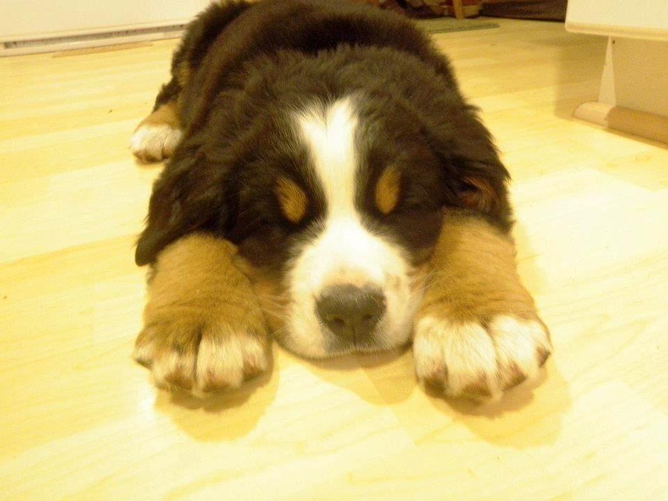 Best Bernese Mountain Dog Chubby Adorable Dog - 5861d664f4dee8c118db28560db8e219  Pic_479112  .jpg