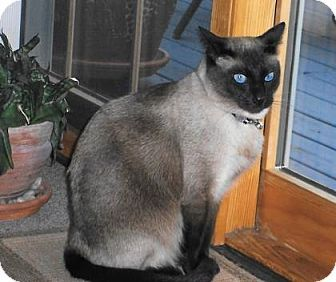 New York Ny Anjellicle No Kill Siamese Meet Checkmate A Cat For Adoption Http Www Adoptapet Com Pet 14027033 New York New York Cat Cat Adoption