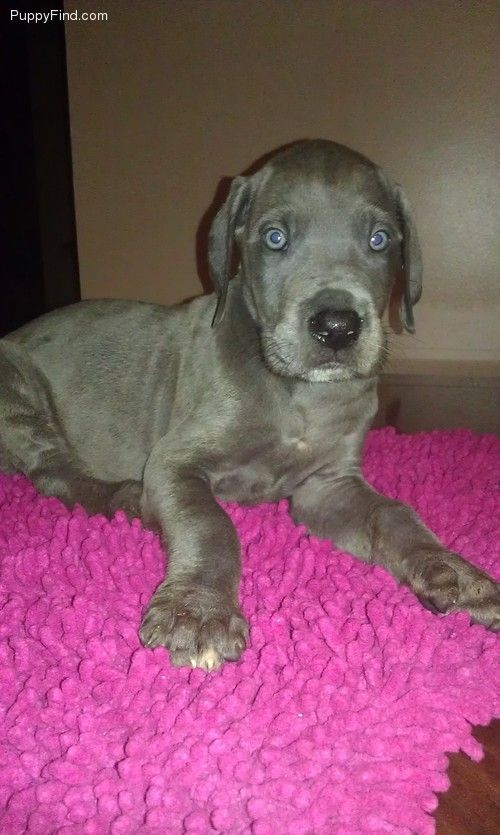Great Dane Puppy Really Cute Dogs Great Dane Puppy Dog Behavior