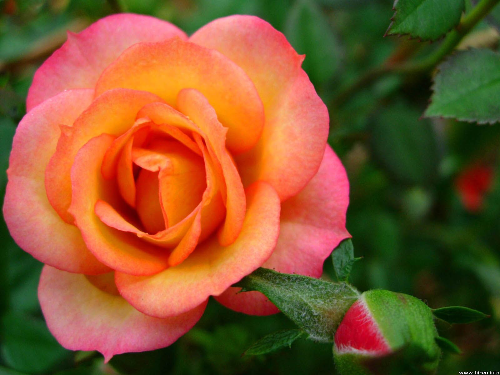 Orange Roses With Pink Tips Things That I Love Pinterest