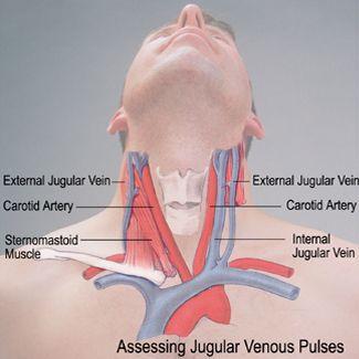 Image result for jugular veins