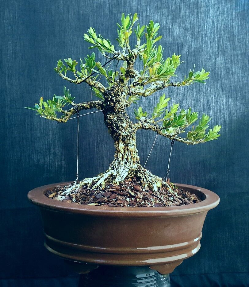 Pin By Felicia Houston On Bonsai Bonsai Tree Bonsai Bonsai Pots
