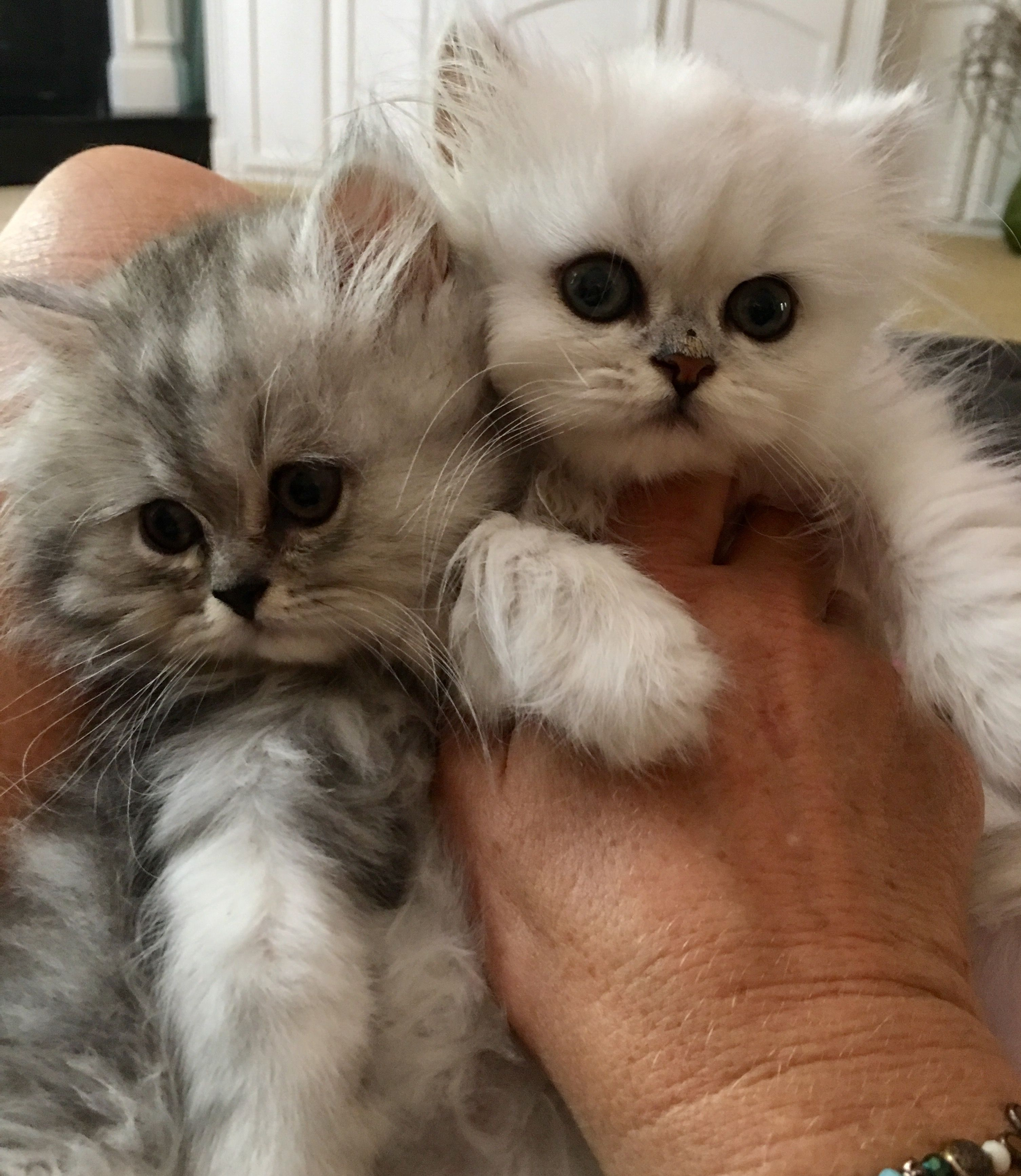 Powder Puff Persians Kittens Cutest Pretty Cats Cute Cats