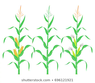 Royalty Free Corn Stalk Stock Images Corn Stalks Image Plant Leaves